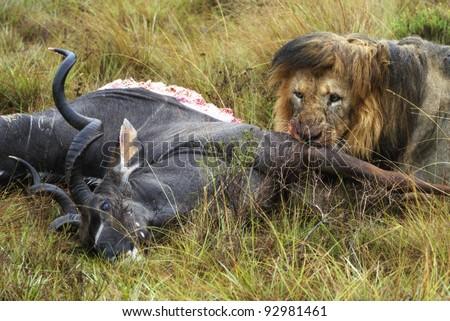 Black maned lion eating its prey