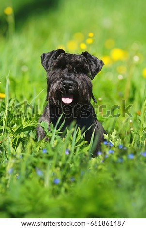 Black Miniature Schnauzer dog sitting in a green grass at sunny spring weather #681861487