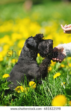 Black Miniature Schnauzer dog sitting in a green grass with yellow dandelions and giving a paw to its owner #681822598