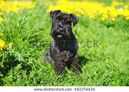 Black Miniature Schnauzer dog sitting on a green grass in spring #682256626