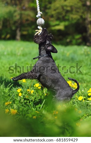 Black Miniature Schnauzer dog standing in a green grass and pulling on a rope #681859429