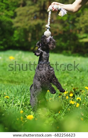 Black Miniature Schnauzer dog standing in a green grass and pulling on a rope #682256623