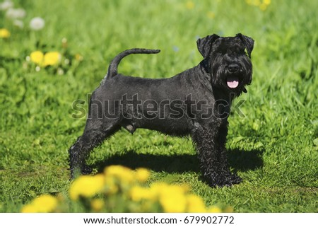 Black Miniature Schnauzer dog staying on a green grass with yellow dandelions at sunny spring weather #679902772