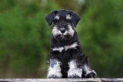 black miniature schnauzer puppy sitting outdoors