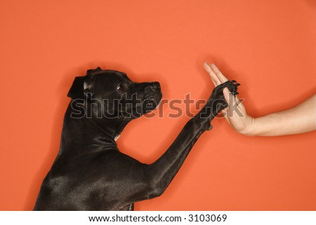 Black mixed breed dog giving female young adult Caucasian a high five.