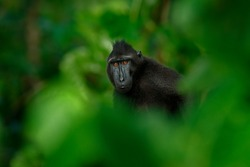 Black monkey hidden in the green vegetation, sitting in the nature habitat, dark tropical forest. Celebes crested Macaque, Macaca nigra, wildlife from Asia, Tangkoko on Sulawesi in Indonesia.