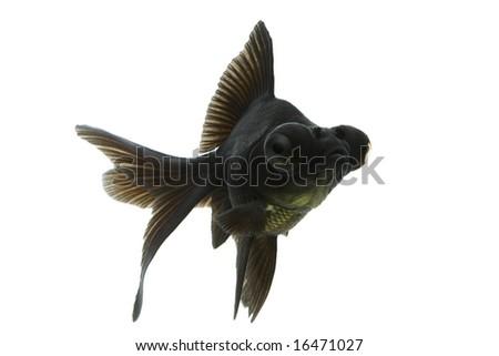 Black Moor goldfish swimming against white background.