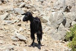 black mountain goat