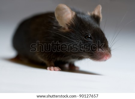 Black mouse, adult female