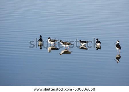Black-necked Stilt feeding in the wetlands of Alviso Marsh, south San Francisco bay, California