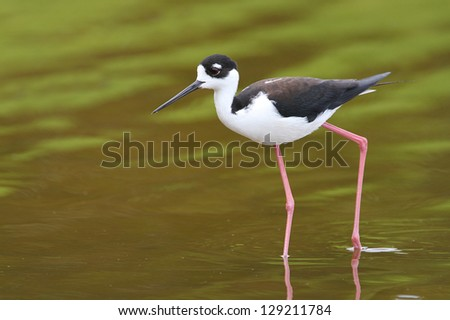 Black-necked Stilt (Himantopus mexicanus) - Everglades National Park, Florida