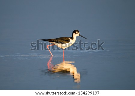 Black-necked Stilt wading on the shores of a prairie lake, Alberta Canada