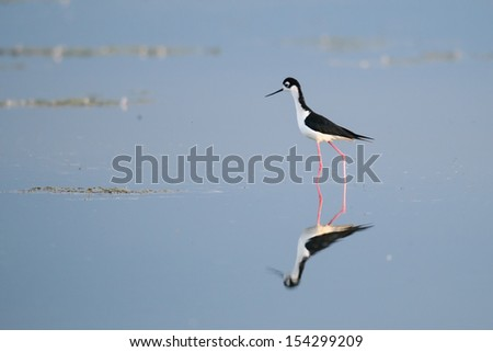 Black-necked Stilt wading on the shores of a prairie lake, Alberta Canada