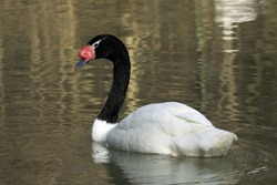 Black-necked swan (Cygnus melancoryphus); male