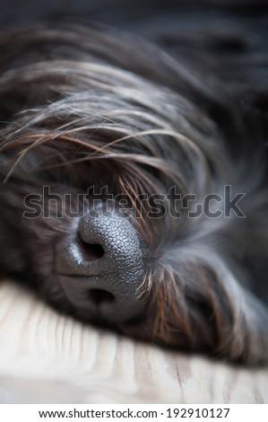 Black nose of a dog