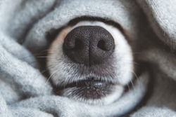 Black nose of welsh corgi pembrok dog covered in grey material scarf. autumn season spanding time. cozyness and funny dog