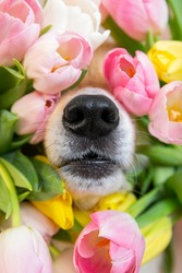 Black nose of welsh corgi pembrok funny dog in spring flowers pink, white and yellow tulips. spring and summer blooming and allergy season. High quality photo