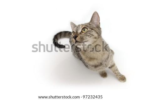 Black nose tabby cat on white background
