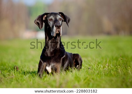 black old great dane dog lying down on the grass