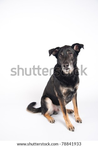 Black Old Shepherd Mix Dog Sitting on White BAckground