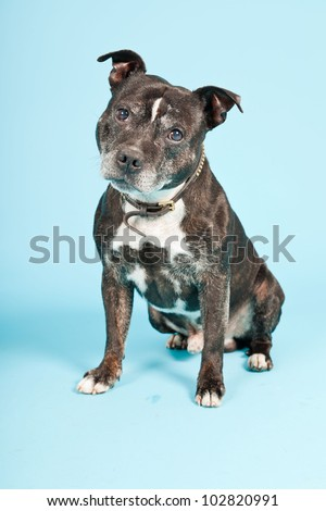 Black old staffordshire isolated on light blue background. Studio shot.