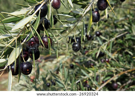 Black Olive trees with ripening fruit in California