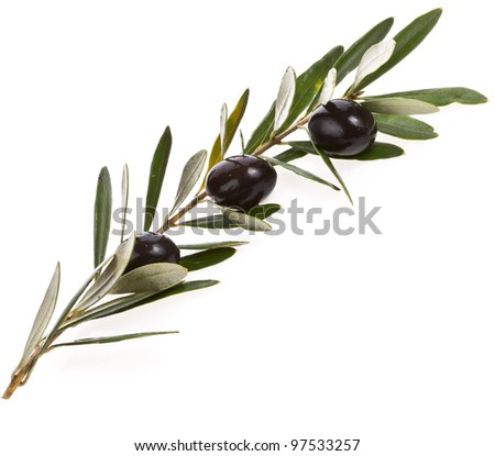 Black olives in olive tree branch on a white background