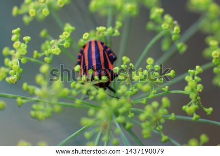 black orange bug on the dill #1437190079