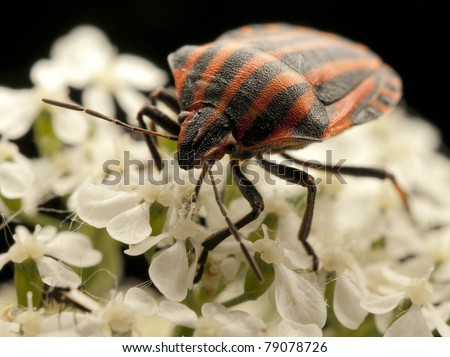 black orange striped bug