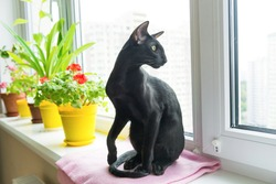 Black oriental cat sits on window sill with home flowers