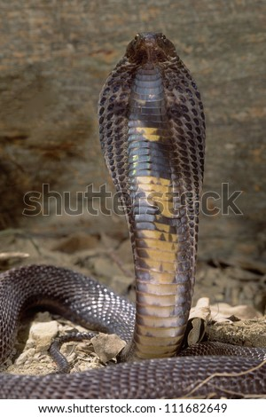 Black Pakistani cobra with his hood flared ready to attack