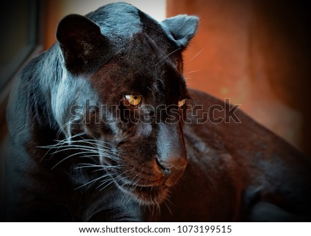 Black Panther (Panthera pardus) is a rare animal in nature. Her beauty is beyond doubt. Black panthers in Asia and Africa are leopards, and those in the Americas are black jaguars