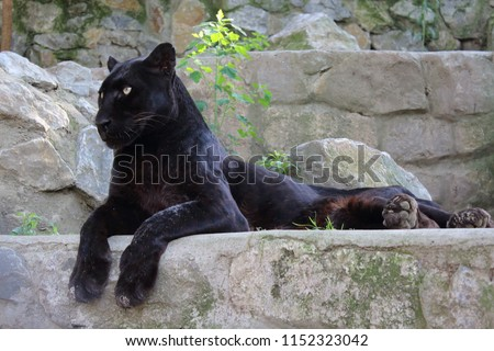 Black Panther Wild Cat