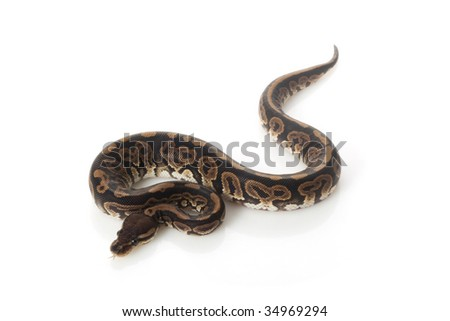 black pastel ball python (Python regius) isolated on white background.