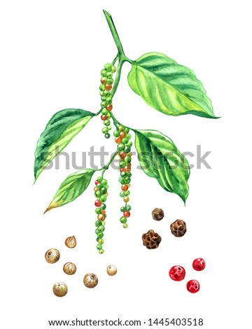 Black pepper branch with ripening fruits and products from it: black pepper peas, white pepper, pink pepper peas, watercolor painting on a white background, isolated