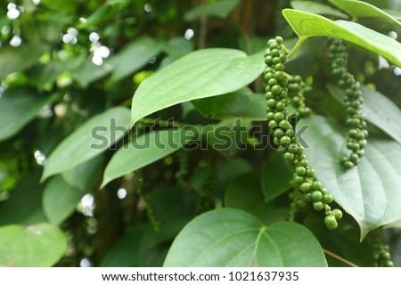 Black pepper plant in Sri Lanka