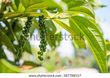 Black pepper - plant with green berries and leaves (Kumily, Kerala, India)