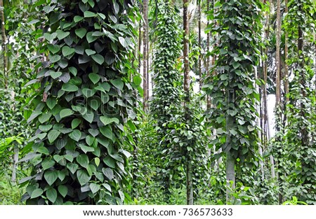 Black pepper plants growing in plantation in Goa, India.