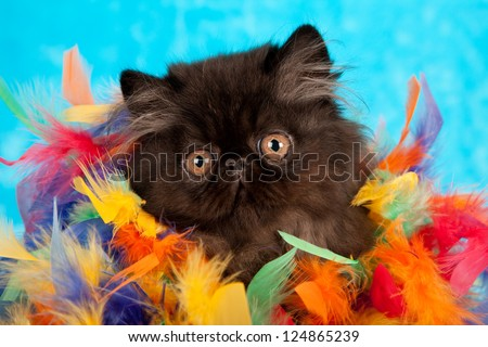 Black Persian kitten hiding in colorful feather boa on blue fake faux fur background