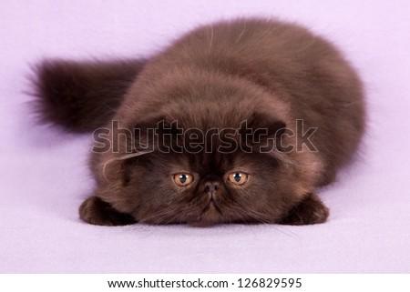 Black Persian kitten lying flat down on lilac purple background