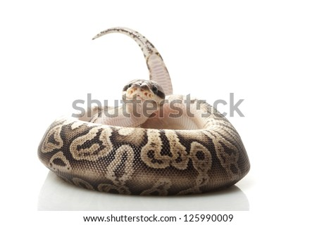 Black pewter ball python (Python regius) isolated on white background.