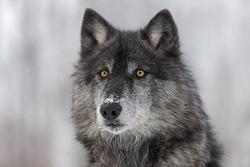 Black Phase Grey Wolf (Canis lupus) Portrait - captive animal