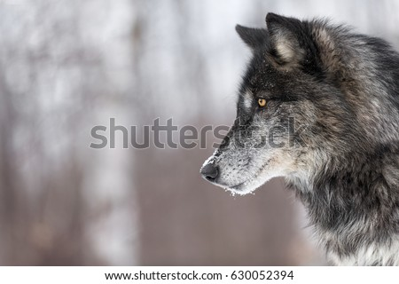 Black Phase Grey Wolf (Canis lupus) Profile Copy Space - captive animal