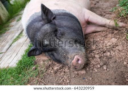 black pig #643220959