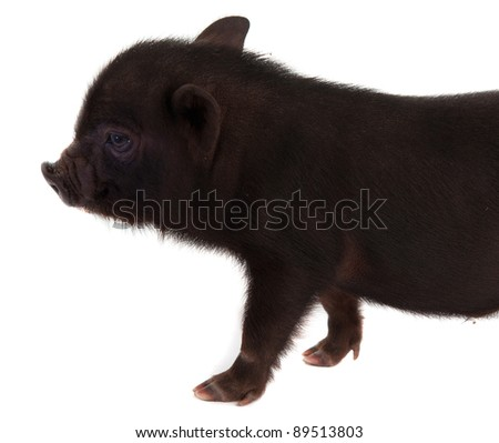 black pig on a white background