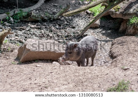 black pig with dirty snout digging in mud in search food.