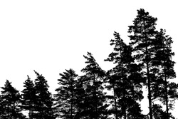 Black pine tree silhouettes isolated on white, forest background