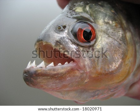 Black piranha (Serrasalmus rhombeus) in the Amazon