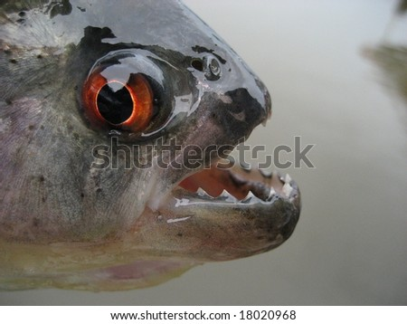 Black piranha, Serrasalmus rhombeus (Redeye Piranha, and see below), is a fish of the piranha family Characidae found in South America in the Amazon and Orinoco river basin