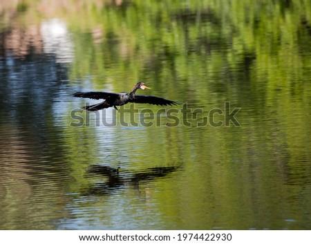 Black, pointed beak anhinga flies over the water at the Venice R Stock fotó ©